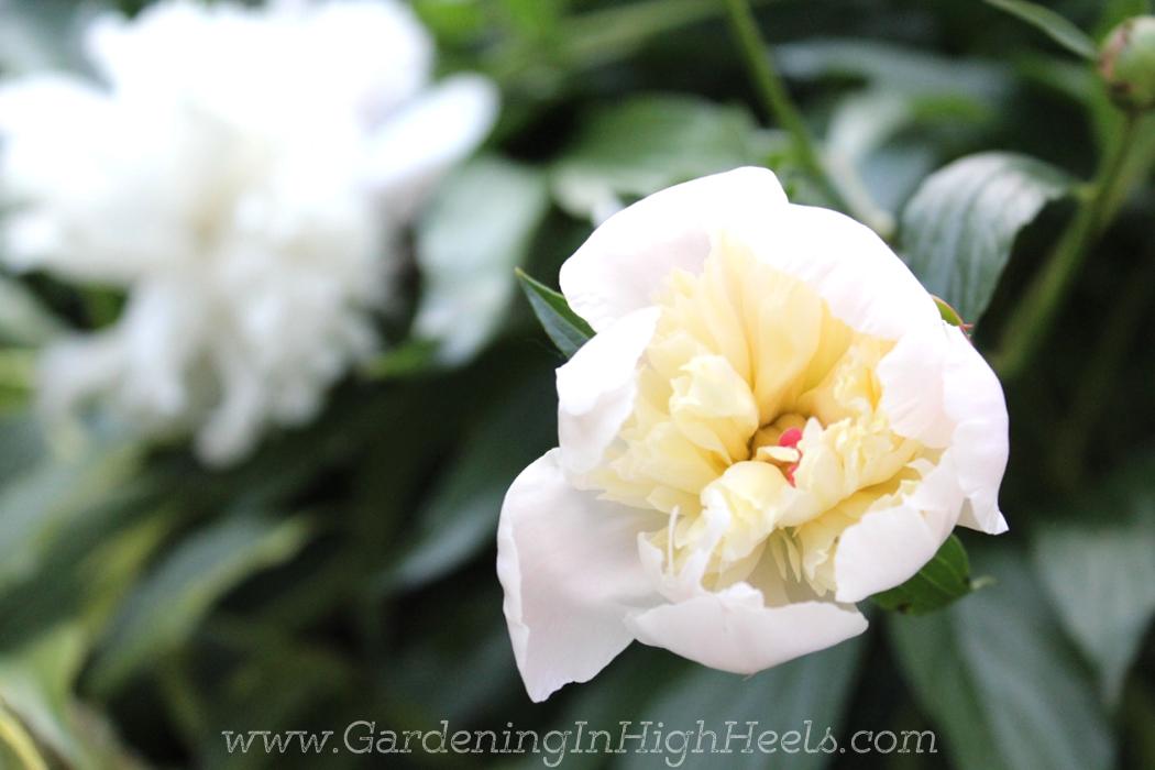 White peony bloom