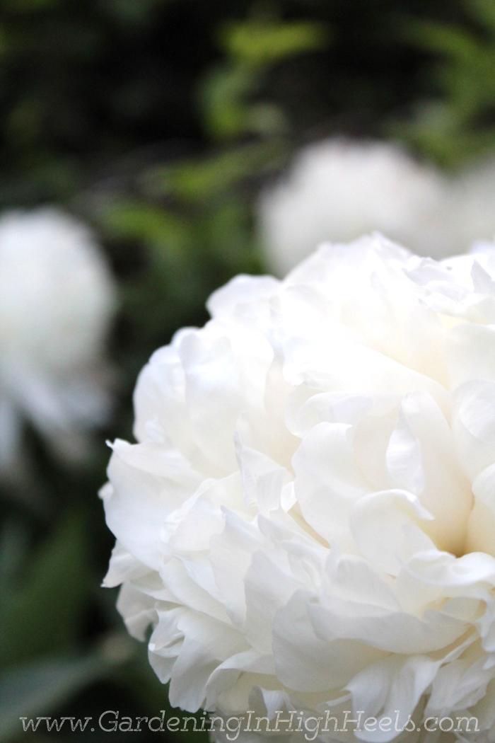Huge beautiful white peony!